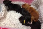 Mole 2nd litter 2017 -dog pups_n