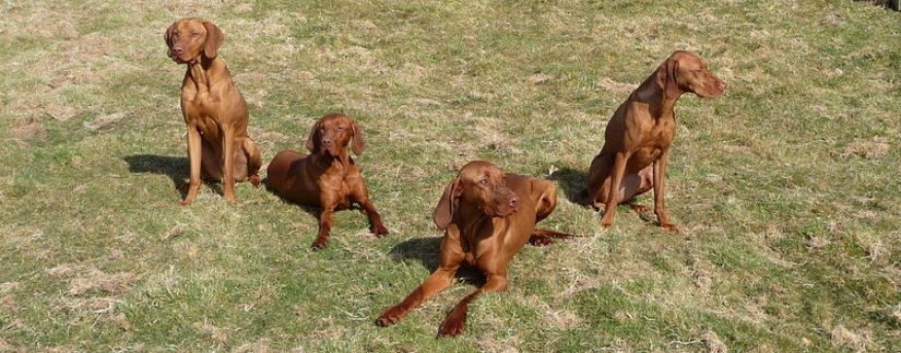 Gamesika gundogs vizlas
